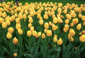 Tulipani al Boston Public Garden